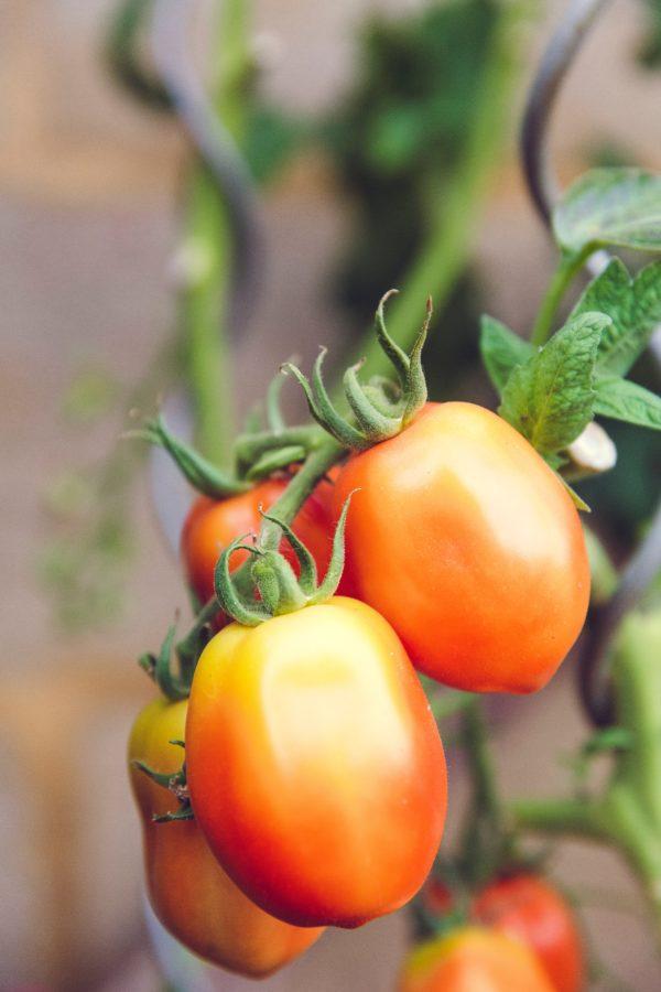tkaná textília pri pestovaní paradajok